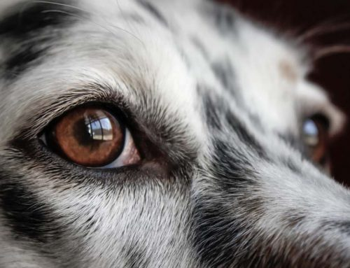 Pet Eye Infections